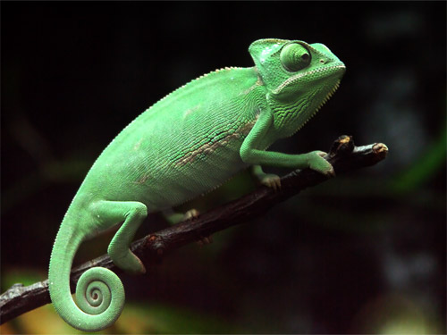 Chameleon - OpenSuse