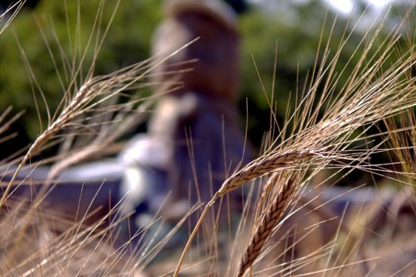 Barley/Gerste. Tommy Schmucker 12/08/2012. [CC BY-SA 3.0]