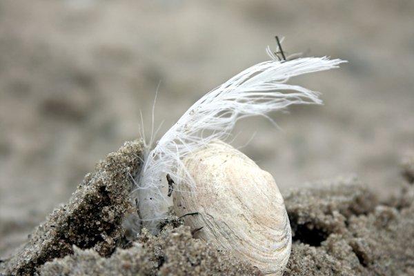 Feather shell/Federmuschel. Tommy Schmucker 2013-09-06. [CC BY-SA 3.0]